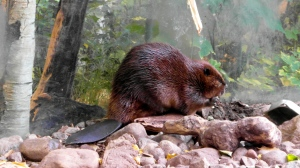 A beaver chews wood in the North American wilderness
