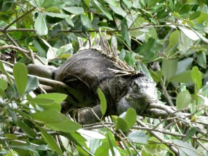 Knock, knock. Who's there? Iguana. Iguana who? 'ey, gwanna climb up this tree and feed me?