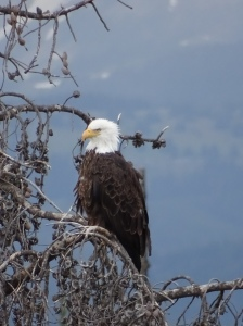 This female eagle was seen in Yellowstone Park.