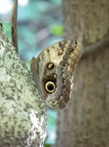 An owl eye butterfly. The eye scares away predators.