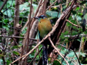 Blue Crowned Motmot!