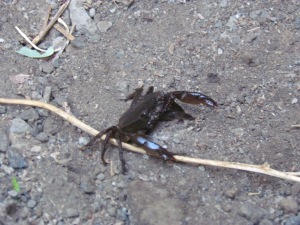 A crab scuttling along