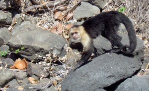 This capuchin monkey's stranded, like on Gilligan's Island. People boat by, but never rescue him!