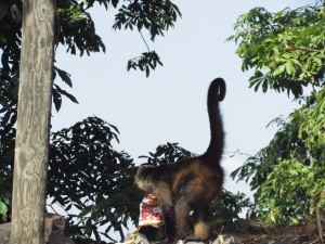 Please don't throw chip bags on the island. This howler monkey, the capuchin's island-mate, is a curious sort.